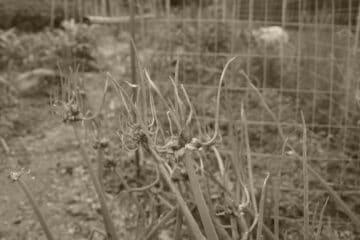 Cibule prorůstavá