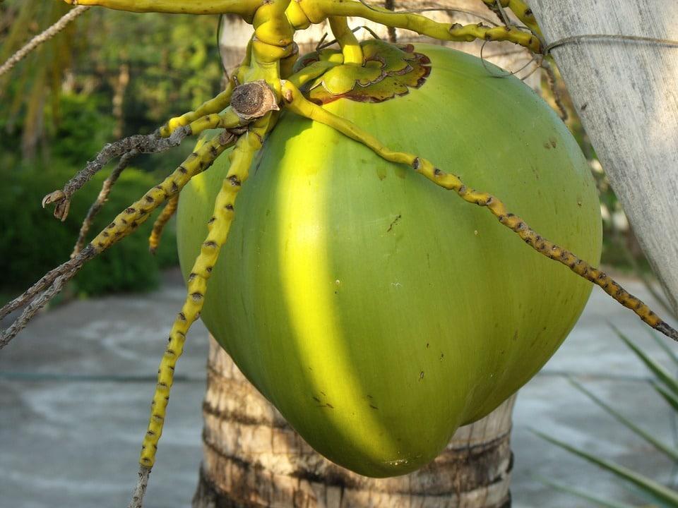 kokos na palmě