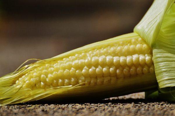 mladé kukuřice