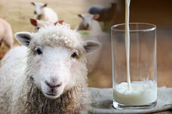 ovčí mléko