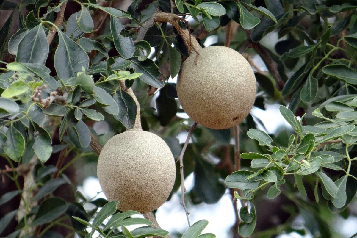Dřevěné jablko na stromě