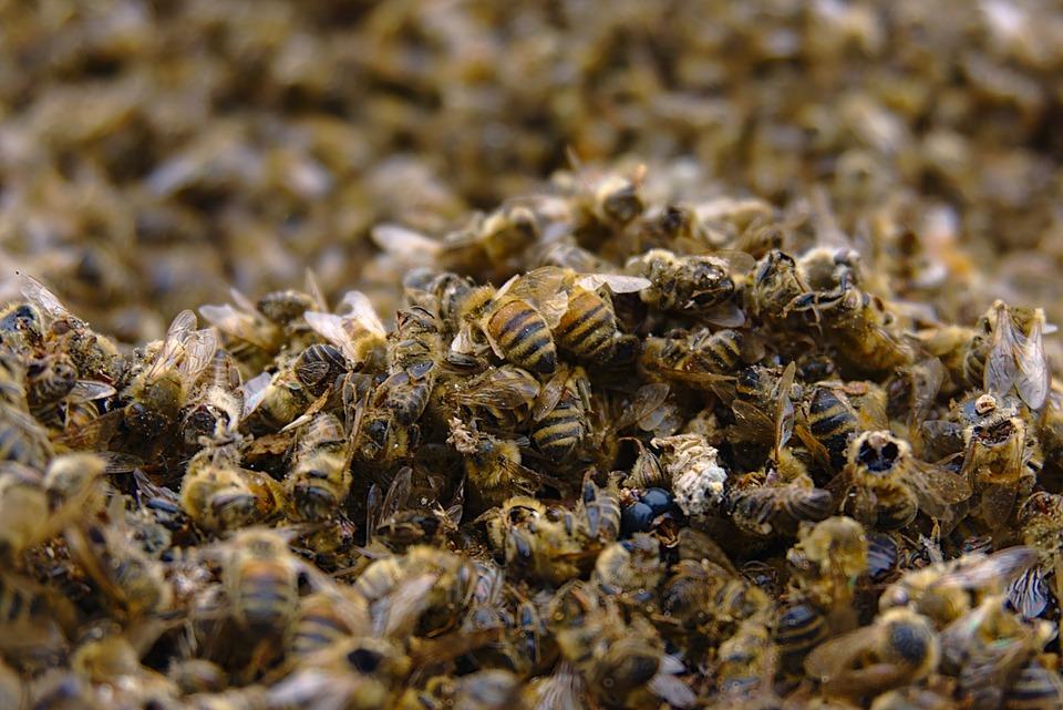 úbytek včel