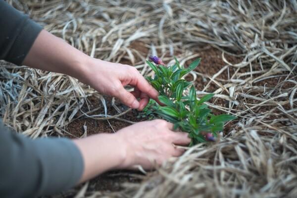 Jak správně mulčovat zahradu
