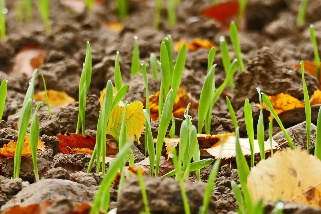 Pěstování cibule doma