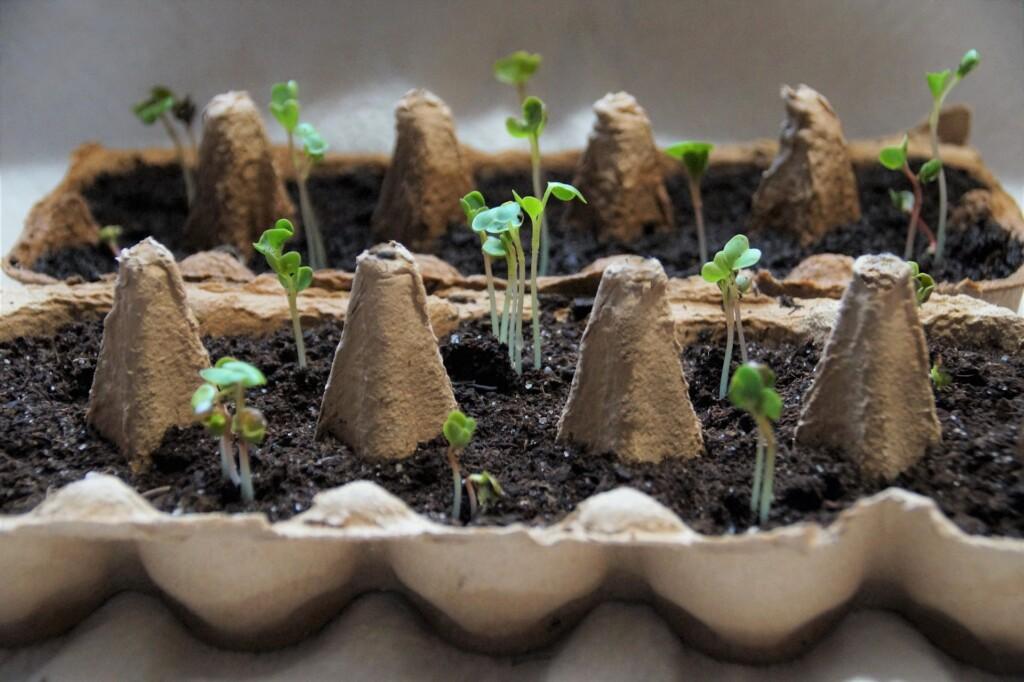 Sady cibule k pěstování