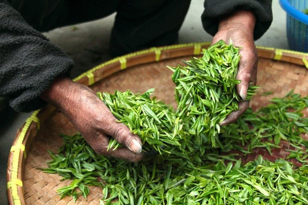 sklizeň zeleného čaje