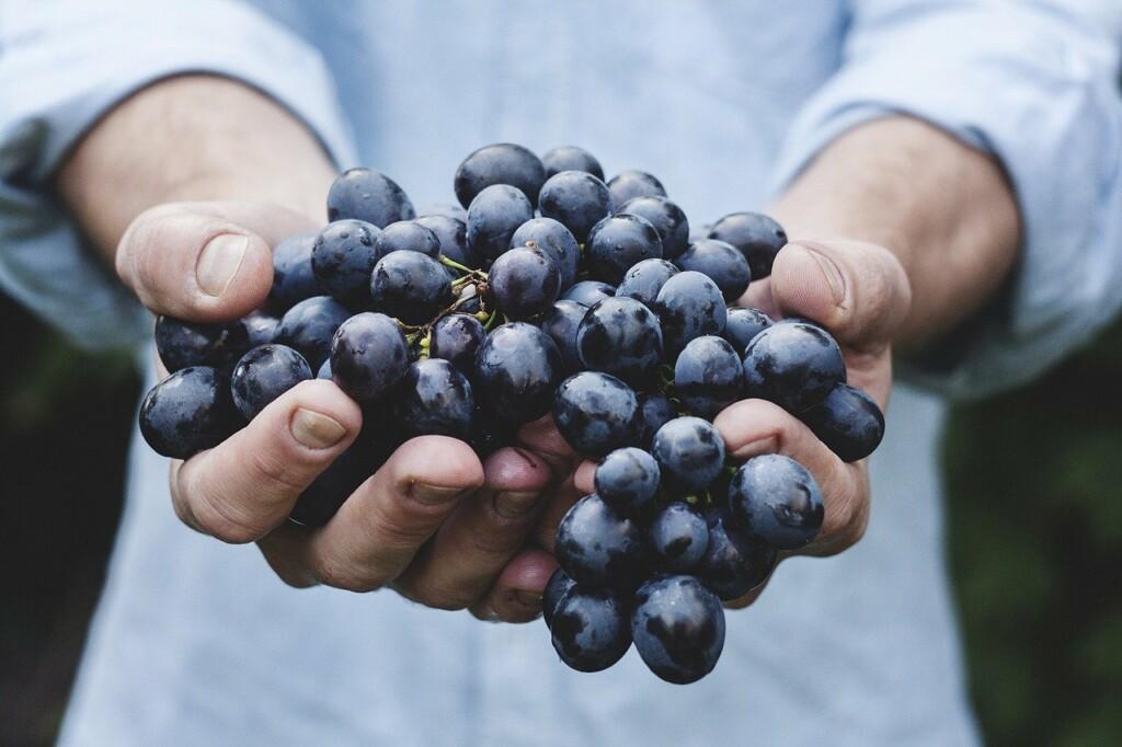 Hroznové víno v rukách.