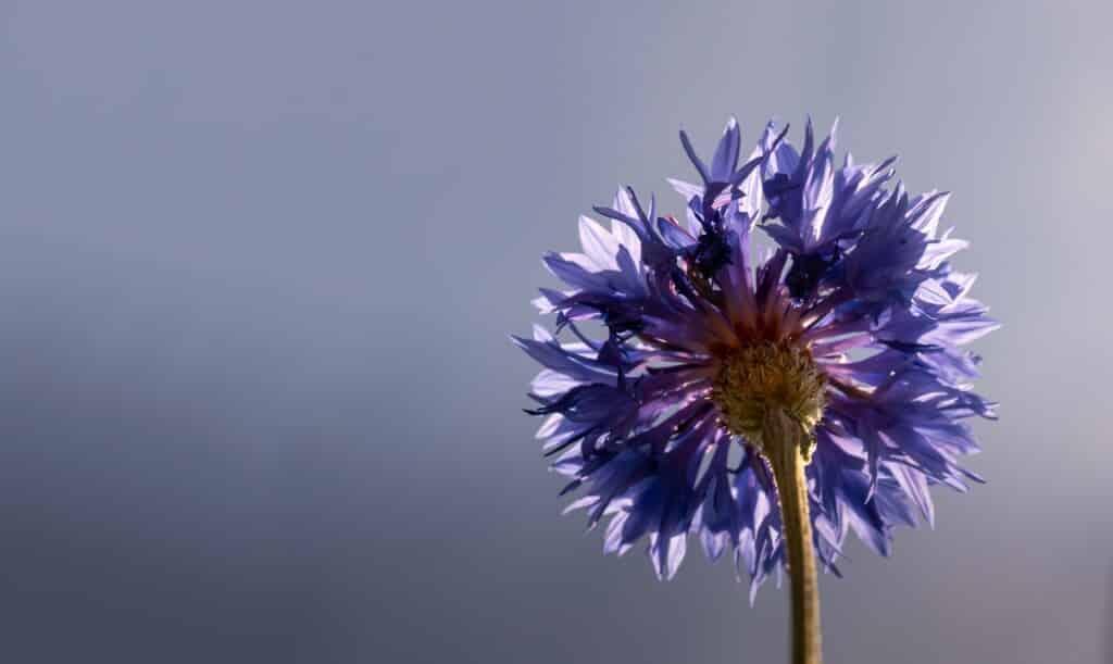 Květ chrpy v detailu.