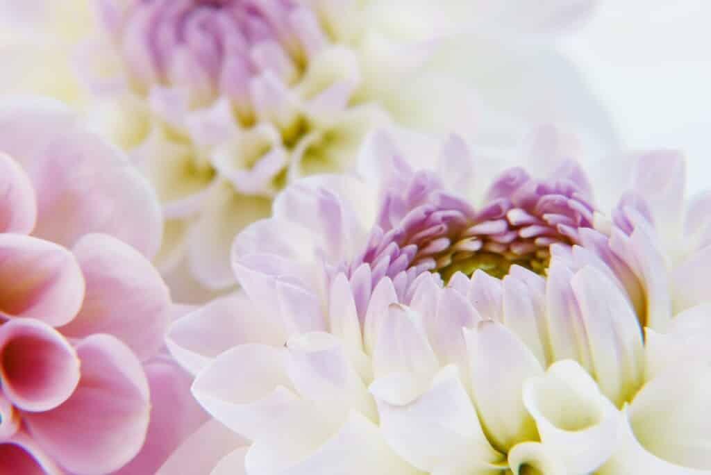 Květy jiřin v detailu.