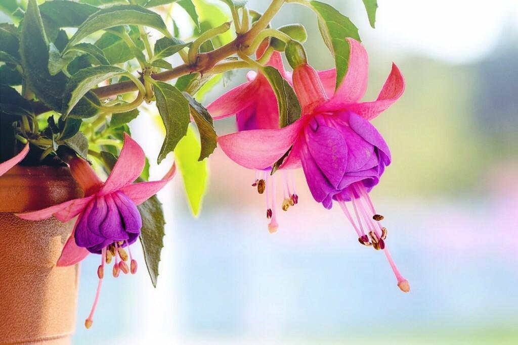 Květy fuchsií v detailu.